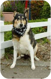 Collie Dog for adoption in Redwood City, California - Chantilly