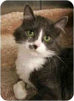 Domestic Longhair Cat for adoption in Phoenix, Oregon - Jazzy (Video!)