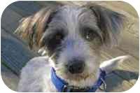 Petit Basset Griffon Vendeen Mix Dog for adoption in Sacramento, California - Sparky