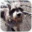 Photo 2 - Schnauzer (Miniature) Dog for adoption in Oak Ridge, New Jersey - Jane-Puppymill
