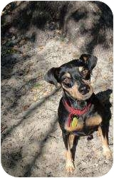 Miniature Pinscher Dog for adoption in Tampa, Florida - Miles