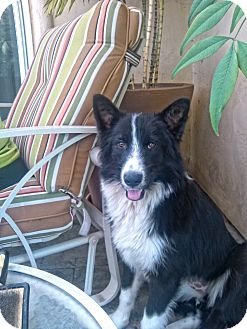 Border Collie Dog for adoption in spring valley, California - Laci
