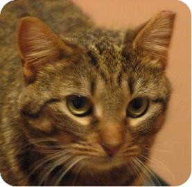 Domestic Shorthair Cat for adoption in Ithaca, New York - Rustie 13997-c