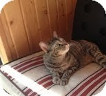 Domestic Shorthair Cat for adoption in West Dundee, Illinois - Kudzie
