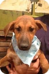 German Shepherd Dog/Golden Retriever Mix Puppy for adoption in Santee, California - Avery