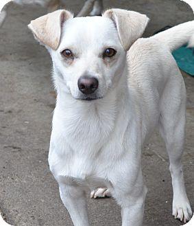 Beagle/Chihuahua Mix Dog for adoption in Tumwater, Washington - Bear