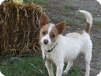 Terrier (Unknown Type, Small)/Chihuahua Mix Dog for adoption in Bedminster, New Jersey - TIDBIT
