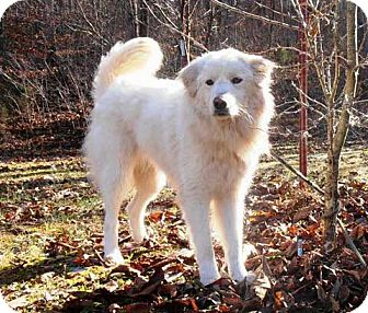 Great Pyrenees Mix Dog for adoption in Salem, New Hampshire - SILLY LILLY