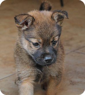 German Shepherd Dog/Australian Shepherd Mix Puppy for adoption in La Habra Heights, California - Yogi
