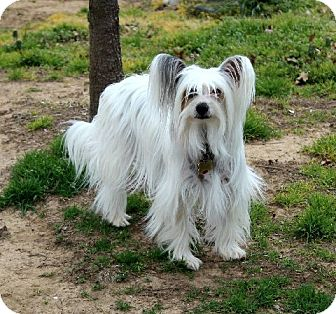 Chinese Crested Dog for adoption in Muldrow, Oklahoma - Lilly