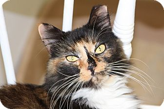Hemingway/Polydactyl Cat for adoption in Medfield, Massachusetts - Calliope