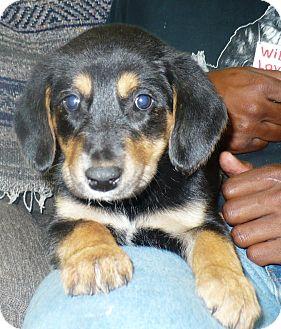 Labrador Retriever/Hound (Unknown Type) Mix Puppy for adoption in Eastpoint, Florida - Christinia