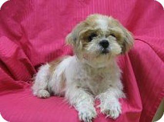 Shih Tzu Mix Dog for adoption in Vancouver, Washington - Lexie