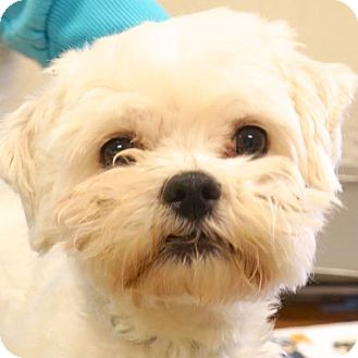 Maltese Mix Dog for adoption in Sprakers, New York - Max