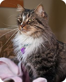 Maine Coon Cat for adoption in Oakland, California - Shem