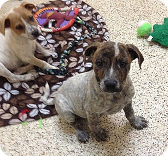 Australian Cattle Dog Mix Puppy for adoption in Thousand Oaks, California - Boris
