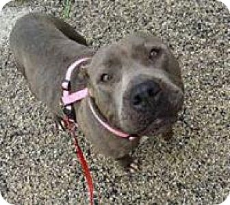 American Pit Bull Terrier Mix Dog for adoption in Everman, Texas - Hope