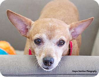 Terrier (Unknown Type, Small)/Chihuahua Mix Dog for adoption in Chattanooga, Tennessee - Gabie