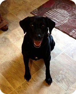 Labrador Retriever Mix Dog for adoption in Knoxville, Tennessee - Hallie
