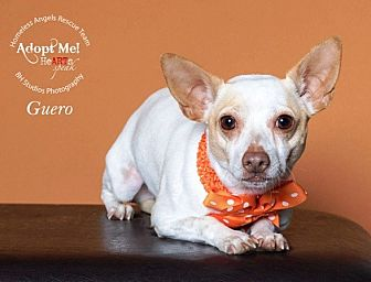 Chihuahua Dog for adoption in Houston, Texas - Guero