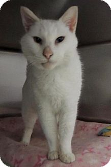 Domestic Shorthair Cat for adoption in Long Beach, Washington - Chowder