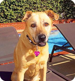 Labrador Retriever Mix Dog for adoption in Los Angeles, California - Ginger