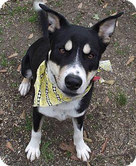 Alaskan Malamute/German Shepherd Dog Mix Puppy for adoption in Texarkana, Arkansas - Fenris