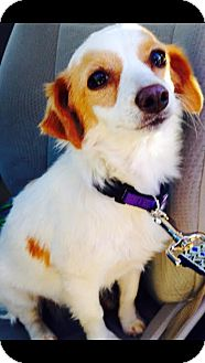 Papillon/Rat Terrier Mix Dog for adoption in Saddle Brook, New Jersey - SAMANTHA