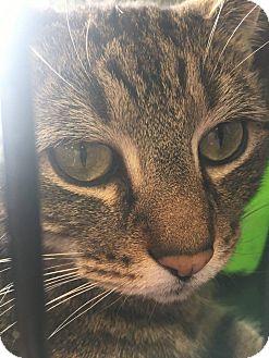 Domestic Shorthair Cat for adoption in Voorhees, New Jersey - Calvin-PetValu Voorhees