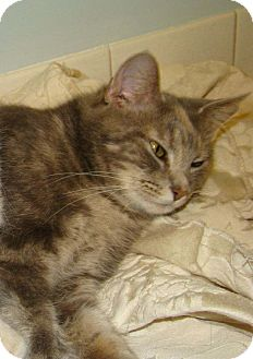 Domestic Mediumhair Cat for adoption in Orland Park, Illinois - Dolly