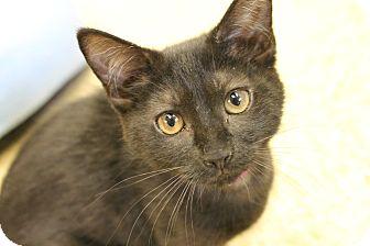 Domestic Shorthair Kitten for adoption in Medina, Ohio - Jellybean