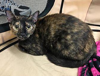 Domestic Mediumhair Cat for adoption in West Palm Beach, Florida - Daisy mama