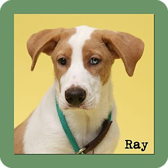 Retriever (Unknown Type)/Hound (Unknown Type) Mix Dog for adoption in Aiken, South Carolina - Ray