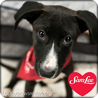 Labrador Retriever/Terrier (Unknown Type, Medium) Mix Puppy for adoption in South Plainfield, New Jersey - Sara Lee