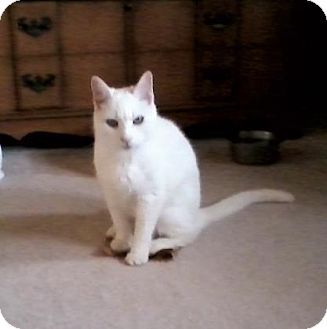 Domestic Shorthair Cat for adoption in Baltimore, Maryland - Angel Marie