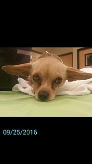 Chihuahua Mix Dog for adoption in Tucson, Arizona - Callaway
