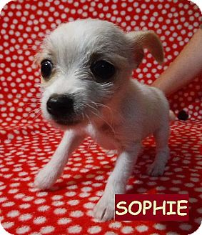 Chihuahua/Maltese Mix Puppy for adoption in Batesville, Arkansas - Sophie