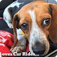 Adopt A Pet :: Trixie - Chicago, IL