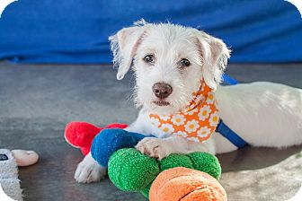 Terrier (Unknown Type, Small) Mix Puppy for adoption in Edmonton, Alberta - Opal