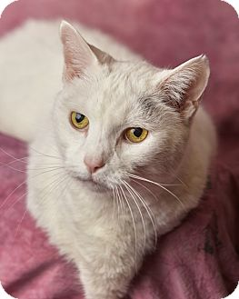 Domestic Shorthair Cat for adoption in Harrisonburg, Virginia - Betty White