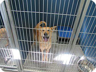 Labrador Retriever Mix Dog for adoption in Henderson, North Carolina - Janie (HW Pos)