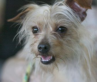 Terrier (Unknown Type, Small) Mix Dog for adoption in Canoga Park, California - Wall-E