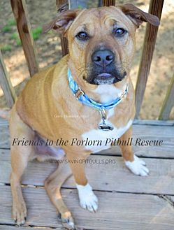Shar Pei/American Staffordshire Terrier Mix Dog for adoption in Dallas, Georgia - Bodhi