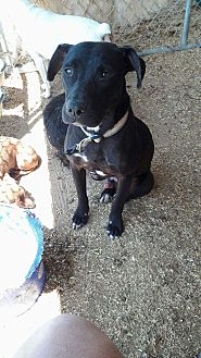 Labrador Retriever Mix Puppy for adoption in Wytheville, Virginia - Mack
