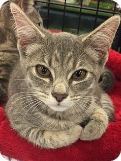 Domestic Shorthair Kitten for adoption in Richmond, Virginia - Princess
