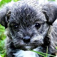 Adopt A Pet :: CRISSY(PRECIOUS SCHNOODLE PUP! - Wakefield, RI