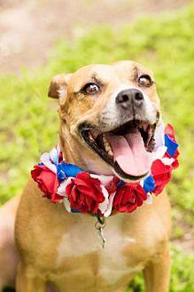 Boxer/Hound (Unknown Type) Mix Dog for adoption in Boston, Massachusetts - Karma