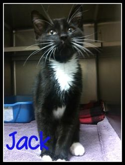 Domestic Shorthair/Domestic Shorthair Mix Kitten for adoption in Muskegon, Michigan - jack