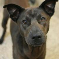Carolina Dog Mix Dog for adoption in Aiken, South Carolina - Toil