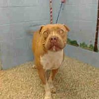 Adopt A Pet :: URGENT on 8/29 SAN BERNARDINO - San Bernardino, CA